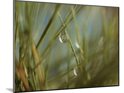 Water Droplets Clinging To Blades of Grass-Todd Gipstein-Mounted Photographic Print
