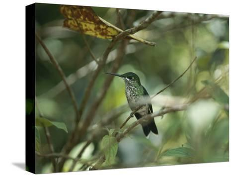 Hummingbird Perched on the Branch of a Tree-Todd Gipstein-Stretched Canvas Print