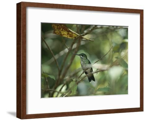 Hummingbird Perched on the Branch of a Tree-Todd Gipstein-Framed Art Print