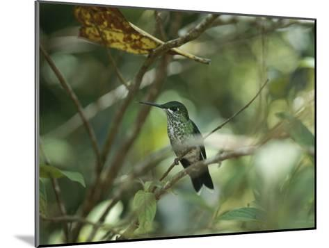 Hummingbird Perched on the Branch of a Tree-Todd Gipstein-Mounted Photographic Print