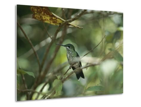 Hummingbird Perched on the Branch of a Tree-Todd Gipstein-Metal Print
