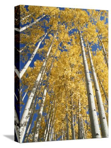Aspen Fall Colors-Rich Reid-Stretched Canvas Print