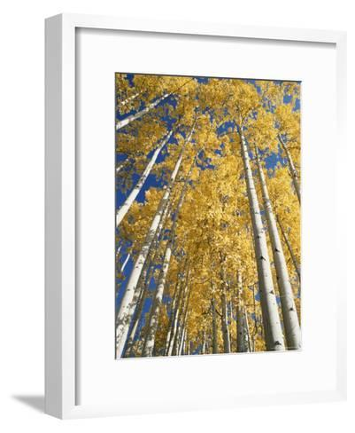 Aspen Fall Colors-Rich Reid-Framed Art Print