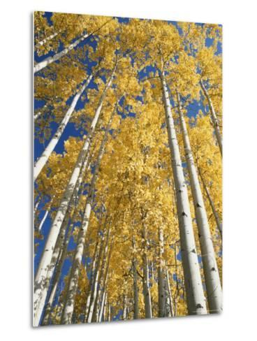 Aspen Fall Colors-Rich Reid-Metal Print
