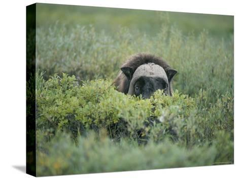 Musk Oxen Peers over a Bush Along Dalton Highway-Rich Reid-Stretched Canvas Print