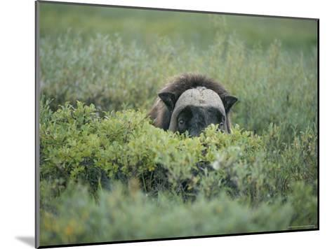 Musk Oxen Peers over a Bush Along Dalton Highway-Rich Reid-Mounted Photographic Print