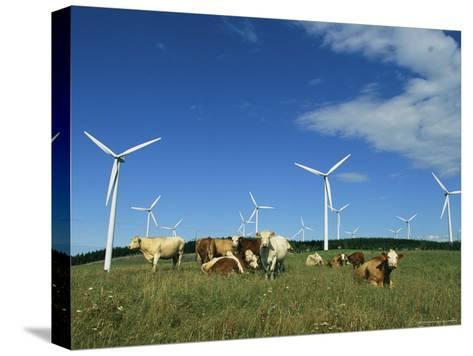 Cattle in a Field with Rows of Windmills-Steve Winter-Stretched Canvas Print