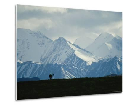 Alaskan Moose Against a Backdrop of Jagged Snow-Covered Mountains-Michael S^ Quinton-Metal Print