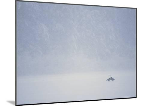 Canada Geese and Evergreen Trees in a Snowy Copper River Landscape-Michael S^ Quinton-Mounted Photographic Print