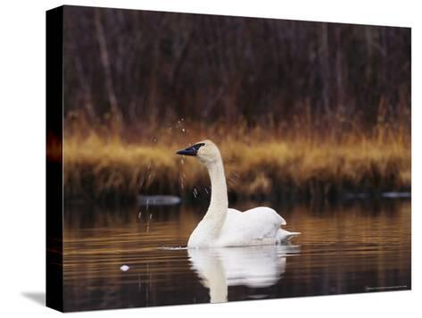 Trumpeter Swan Shaking Water Droplets From It's Head-Michael S^ Quinton-Stretched Canvas Print