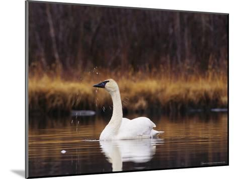 Trumpeter Swan Shaking Water Droplets From It's Head-Michael S^ Quinton-Mounted Photographic Print