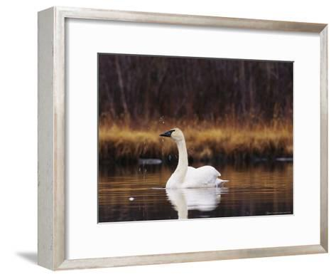 Trumpeter Swan Shaking Water Droplets From It's Head-Michael S^ Quinton-Framed Art Print