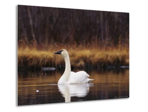 Trumpeter Swan Shaking Water Droplets From It's Head-Michael S^ Quinton-Metal Print