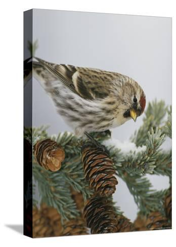 Redpoll Finch Perched on a Snow-Dappled Fir Branch with Cones-Michael S^ Quinton-Stretched Canvas Print