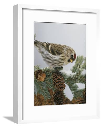 Redpoll Finch Perched on a Snow-Dappled Fir Branch with Cones-Michael S^ Quinton-Framed Art Print