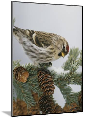 Redpoll Finch Perched on a Snow-Dappled Fir Branch with Cones-Michael S^ Quinton-Mounted Photographic Print