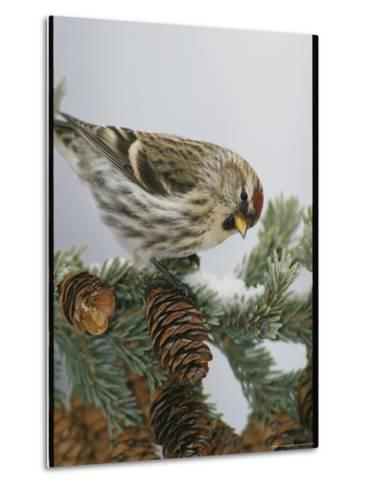 Redpoll Finch Perched on a Snow-Dappled Fir Branch with Cones-Michael S^ Quinton-Metal Print