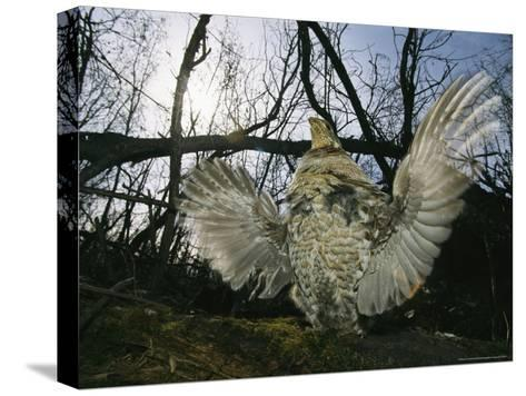 Ruffed Grouse Spreading His Wings in a Display-Michael S^ Quinton-Stretched Canvas Print