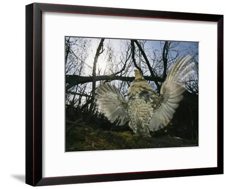 Ruffed Grouse Spreading His Wings in a Display-Michael S^ Quinton-Framed Art Print