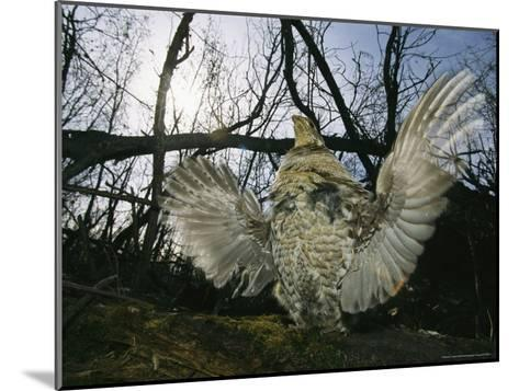 Ruffed Grouse Spreading His Wings in a Display-Michael S^ Quinton-Mounted Photographic Print