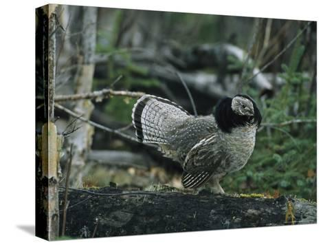 Ruffed Grouse Walking Along a Fallen Tree Trunk-Michael S^ Quinton-Stretched Canvas Print