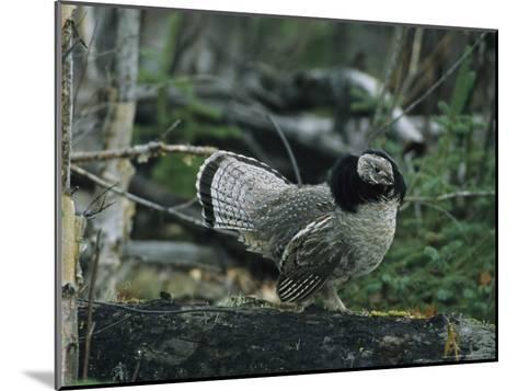 Ruffed Grouse Walking Along a Fallen Tree Trunk-Michael S^ Quinton-Mounted Photographic Print