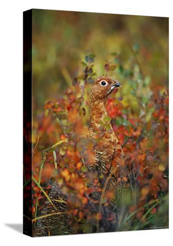 Camouflaged Willow Ptarmigan Among Autumn Colored Foliage-Michael S^ Quinton-Stretched Canvas Print