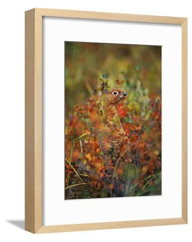 Camouflaged Willow Ptarmigan Among Autumn Colored Foliage-Michael S^ Quinton-Framed Art Print