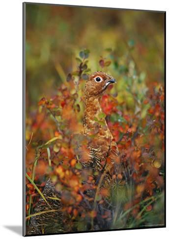 Camouflaged Willow Ptarmigan Among Autumn Colored Foliage-Michael S^ Quinton-Mounted Photographic Print