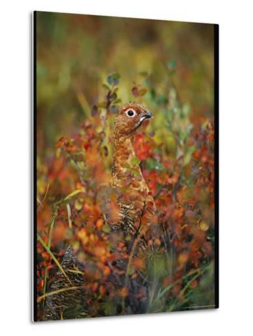 Camouflaged Willow Ptarmigan Among Autumn Colored Foliage-Michael S^ Quinton-Metal Print