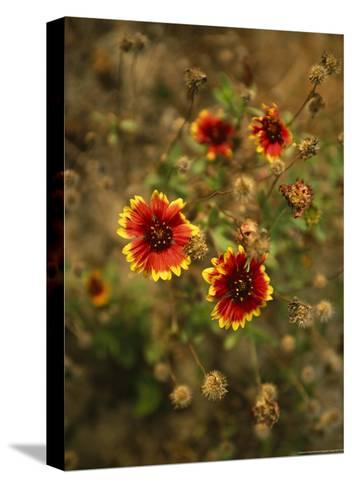 Clump of Fire Wheel Flowers in Bloom-Raymond Gehman-Stretched Canvas Print