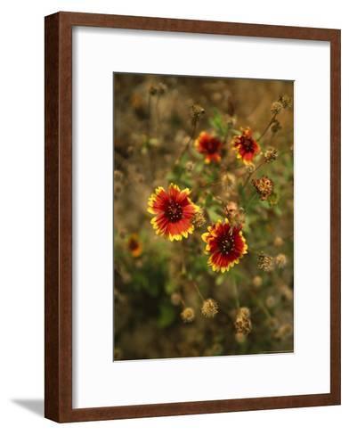 Clump of Fire Wheel Flowers in Bloom-Raymond Gehman-Framed Art Print