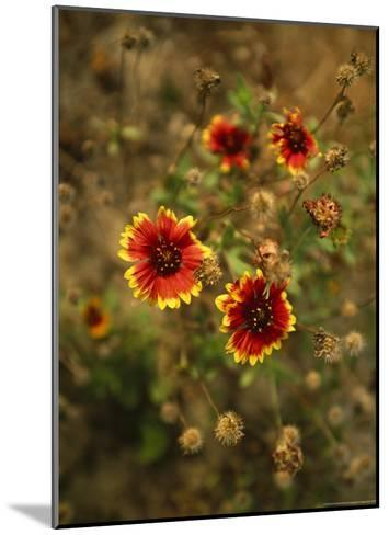 Clump of Fire Wheel Flowers in Bloom-Raymond Gehman-Mounted Photographic Print