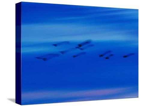 Birds in Flight in a Blue Twilight Sky-Randy Olson-Stretched Canvas Print