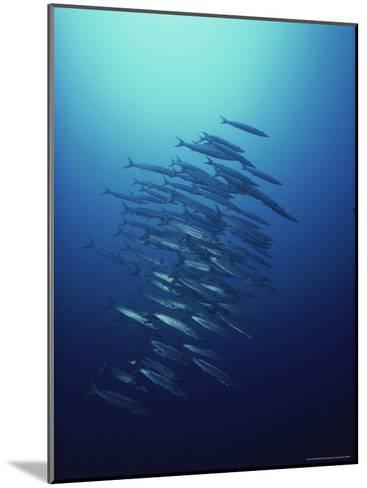 Dozens of Long-Nose Barracudas Prowl As One-David Doubilet-Mounted Photographic Print