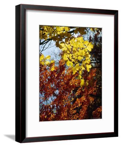 Maple Trees Along the Roy Gap Road Trail-Raymond Gehman-Framed Art Print