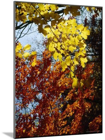 Maple Trees Along the Roy Gap Road Trail-Raymond Gehman-Mounted Photographic Print