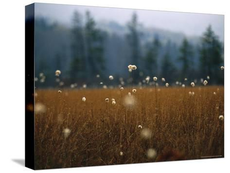Cotton Grass, Sedges and a Red Spruce Forest in a Bog-Raymond Gehman-Stretched Canvas Print