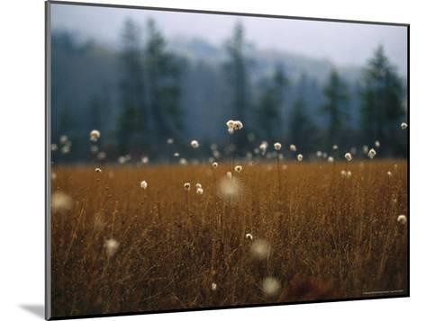 Cotton Grass, Sedges and a Red Spruce Forest in a Bog-Raymond Gehman-Mounted Photographic Print