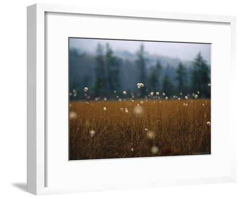 Cotton Grass, Sedges and a Red Spruce Forest in a Bog-Raymond Gehman-Framed Art Print