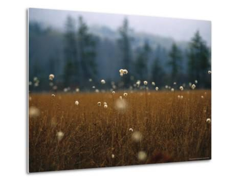 Cotton Grass, Sedges and a Red Spruce Forest in a Bog-Raymond Gehman-Metal Print