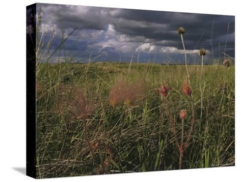 Field with Blooming Prairie Smoke Flowers-Melissa Farlow-Stretched Canvas Print