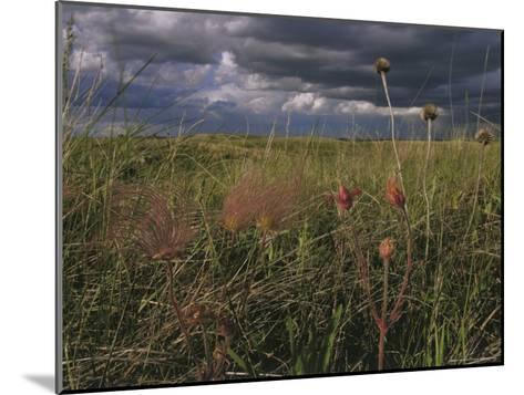 Field with Blooming Prairie Smoke Flowers-Melissa Farlow-Mounted Photographic Print