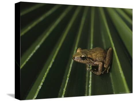 Coqui Frogs Invaded the Hawaiian Islands From Imported Plants-Melissa Farlow-Stretched Canvas Print