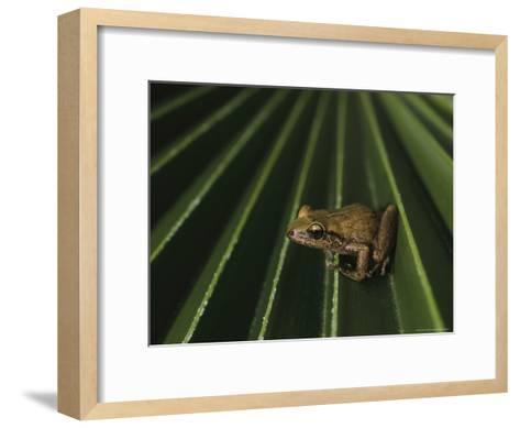 Coqui Frogs Invaded the Hawaiian Islands From Imported Plants-Melissa Farlow-Framed Art Print