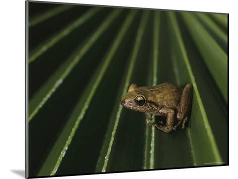 Coqui Frogs Invaded the Hawaiian Islands From Imported Plants-Melissa Farlow-Mounted Photographic Print