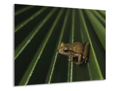 Coqui Frogs Invaded the Hawaiian Islands From Imported Plants-Melissa Farlow-Metal Print