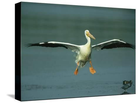 American White Pelican in Flight over a Salt Water Lagoon-Klaus Nigge-Stretched Canvas Print