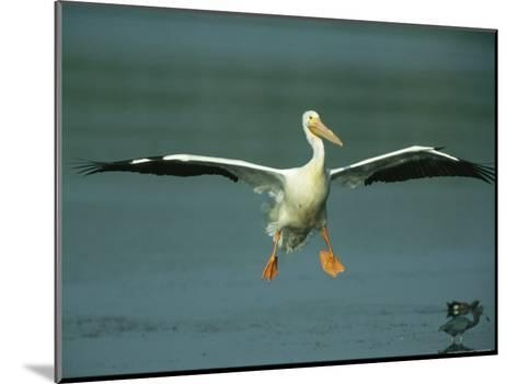 American White Pelican in Flight over a Salt Water Lagoon-Klaus Nigge-Mounted Photographic Print