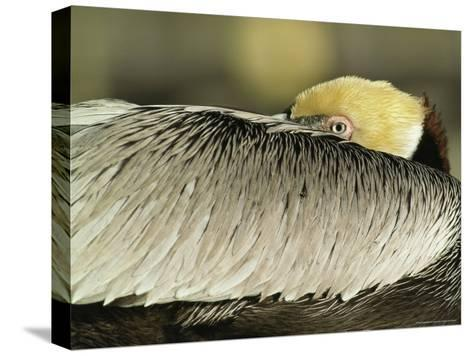 Brown Pelican with Its Head Tucked Behind Its Wing-Klaus Nigge-Stretched Canvas Print